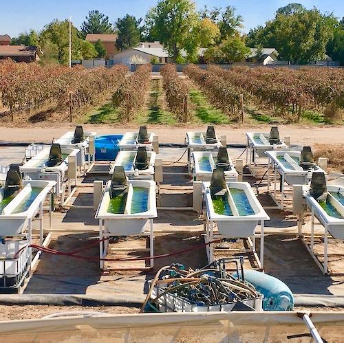 Field Trials of Algal Strains
